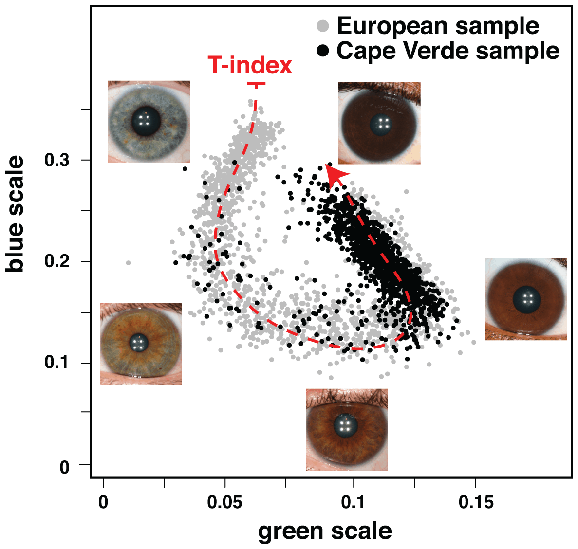 """Figure 2. Quantitative assessment of eye color. Plotted are the normalized median values of green (x-axis) and blue (y-axis) levels of each individual's irises. We fitted a principal curve that explains most of the variation in the data (red dashed curve). The T-index is defined by the arc-length from the projection of each point on the curve to the end of the curve that corresponds to the lightest eye color. In the figure are examples of eye photos at their respective position in the T-index curve. doi:10.1371/journal.pgen.1003372.g002"""