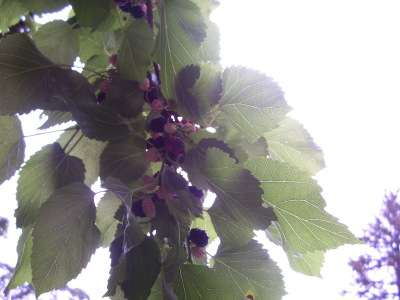 My local mulberry tree in June 2011: up